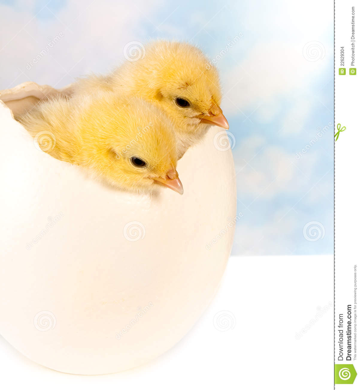 twin chicks in big egg stock photo. image of twin, tiny - 22629304