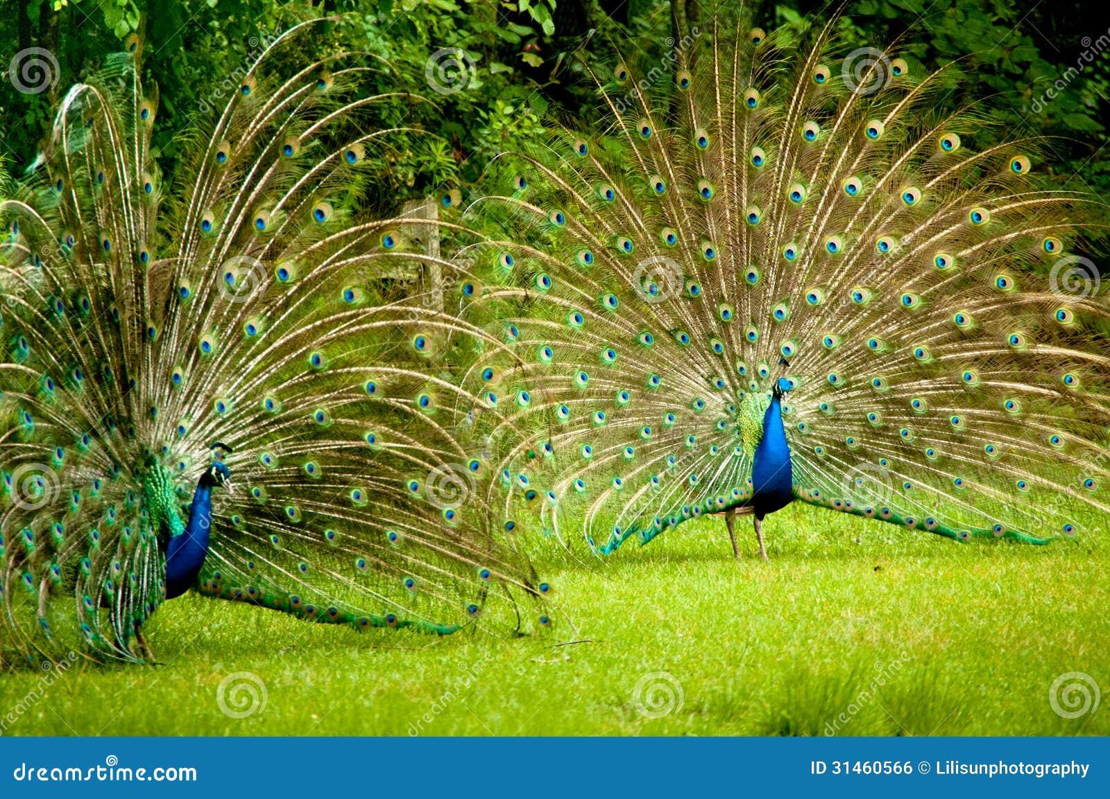 Twin Peacocks Royalty Free Stock Image Image 31460566