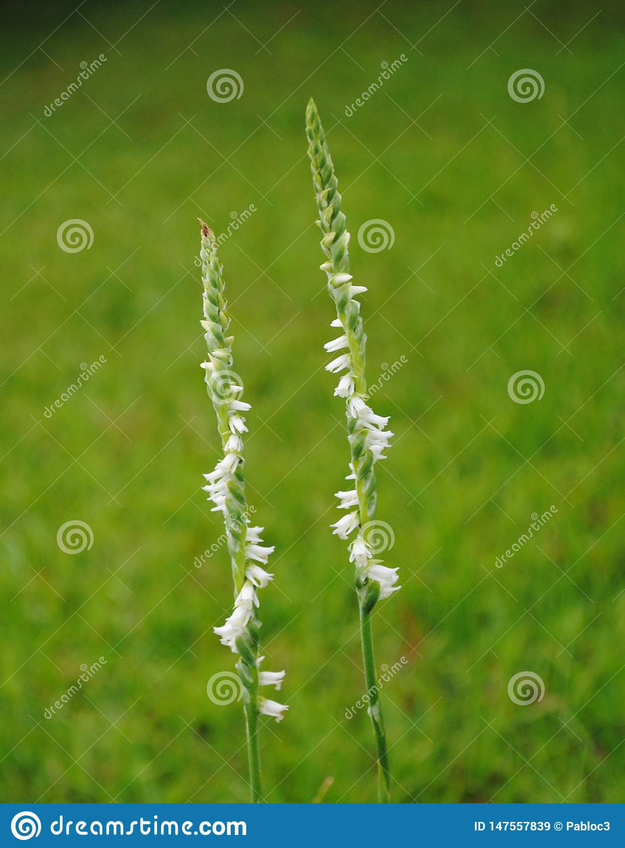 Twin Spiral Stalks with White Flowers