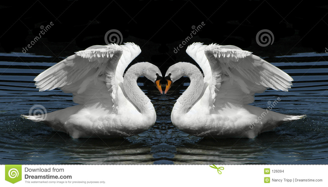 twin swans facing to create heart shape stock images. Black Bedroom Furniture Sets. Home Design Ideas