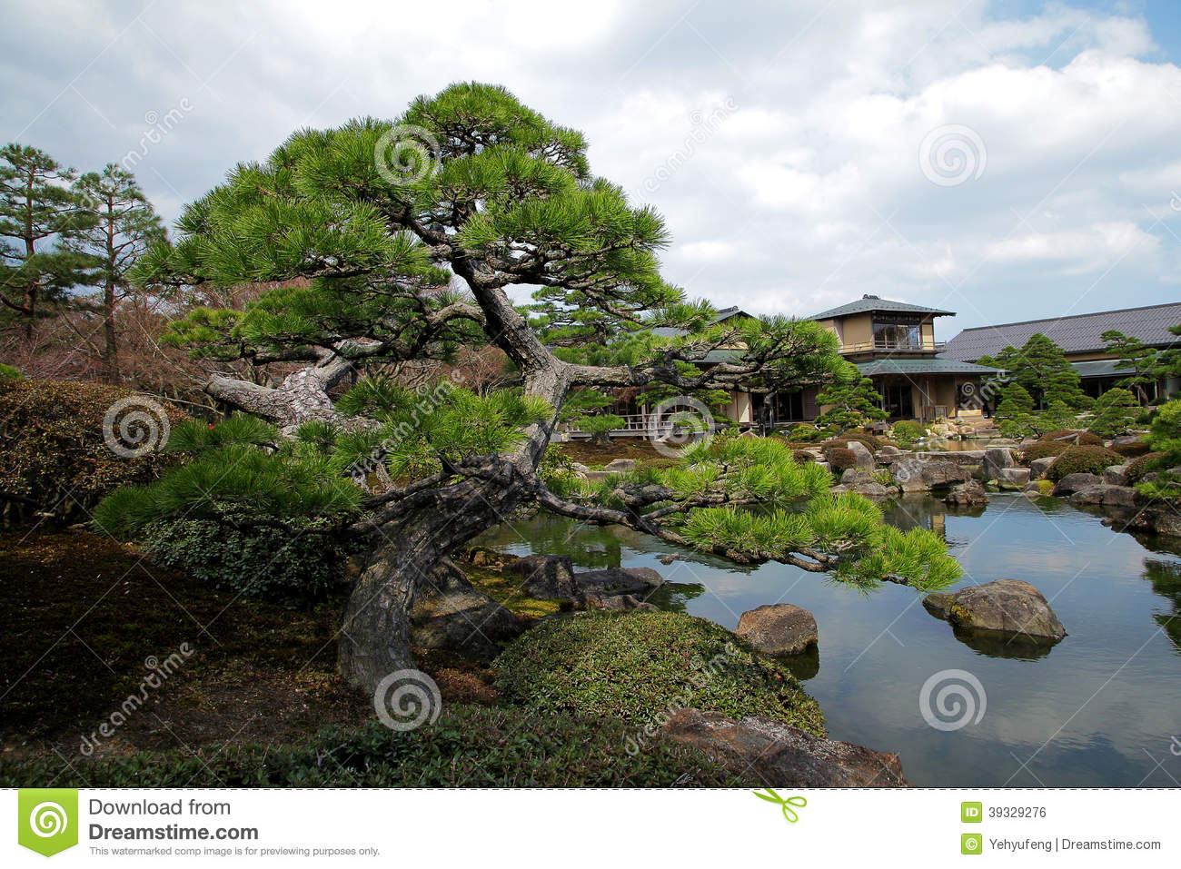 Charmant Twisted Pine Tree Beside Pond Of Zen Garden