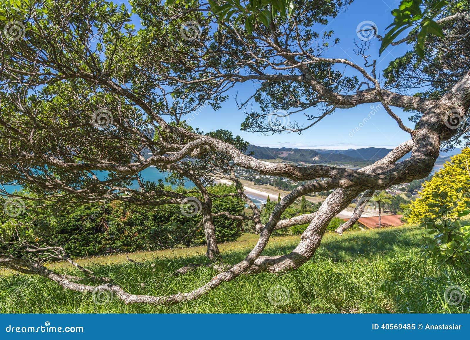Pohutukawa tree crooked branch in a park on Paku mountain side, Tairua ...