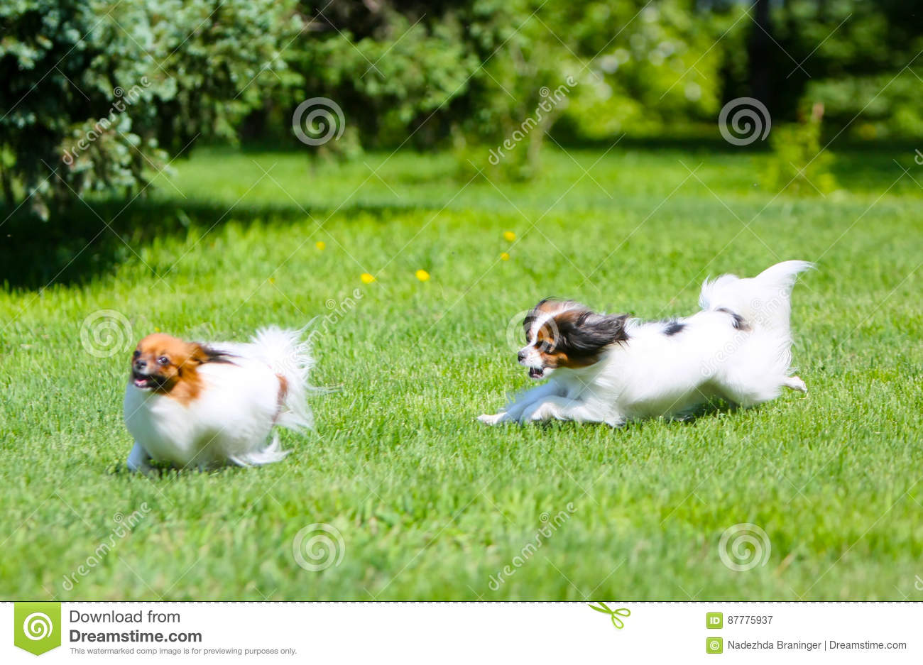 Two active white dog running around the green grass. Fluffy Puppy jumping on the lawn.