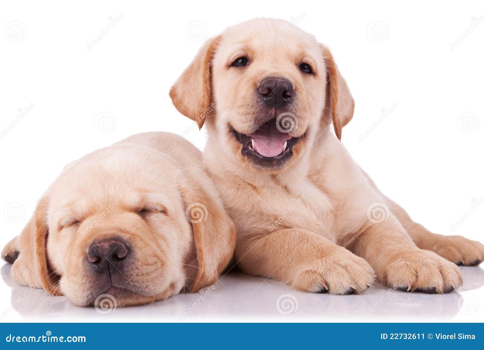 Two adorable little labrador retriever puppies