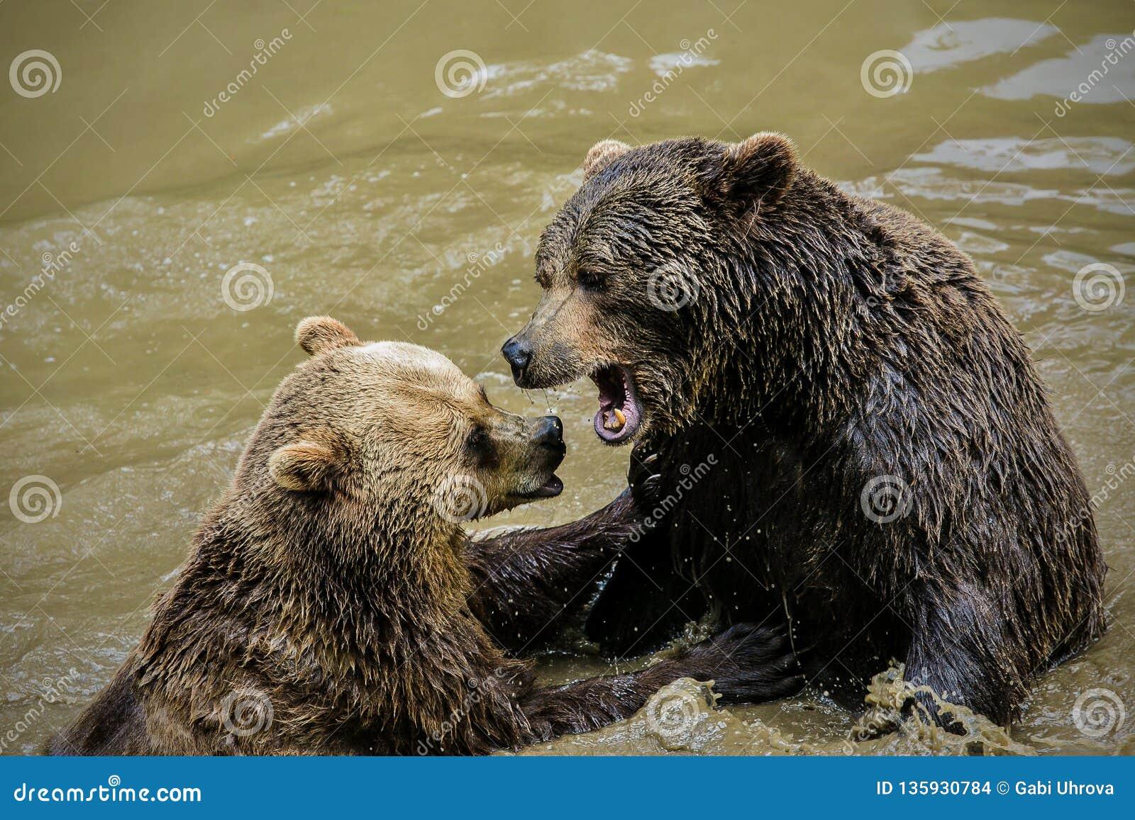 Two adult brown bears, Ursus arctos, messing around in muddy water