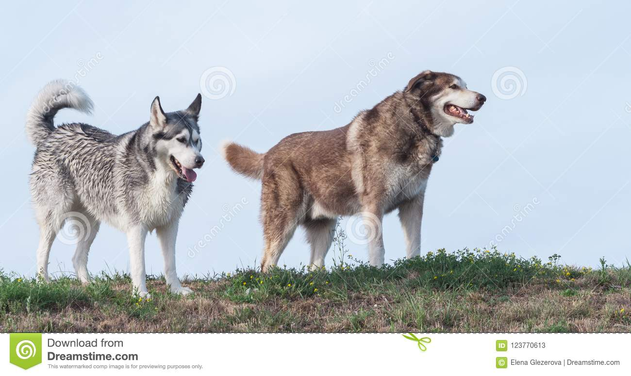 Two Adult Dogs Alaskan Malamute And Siberian Husky Go Against The