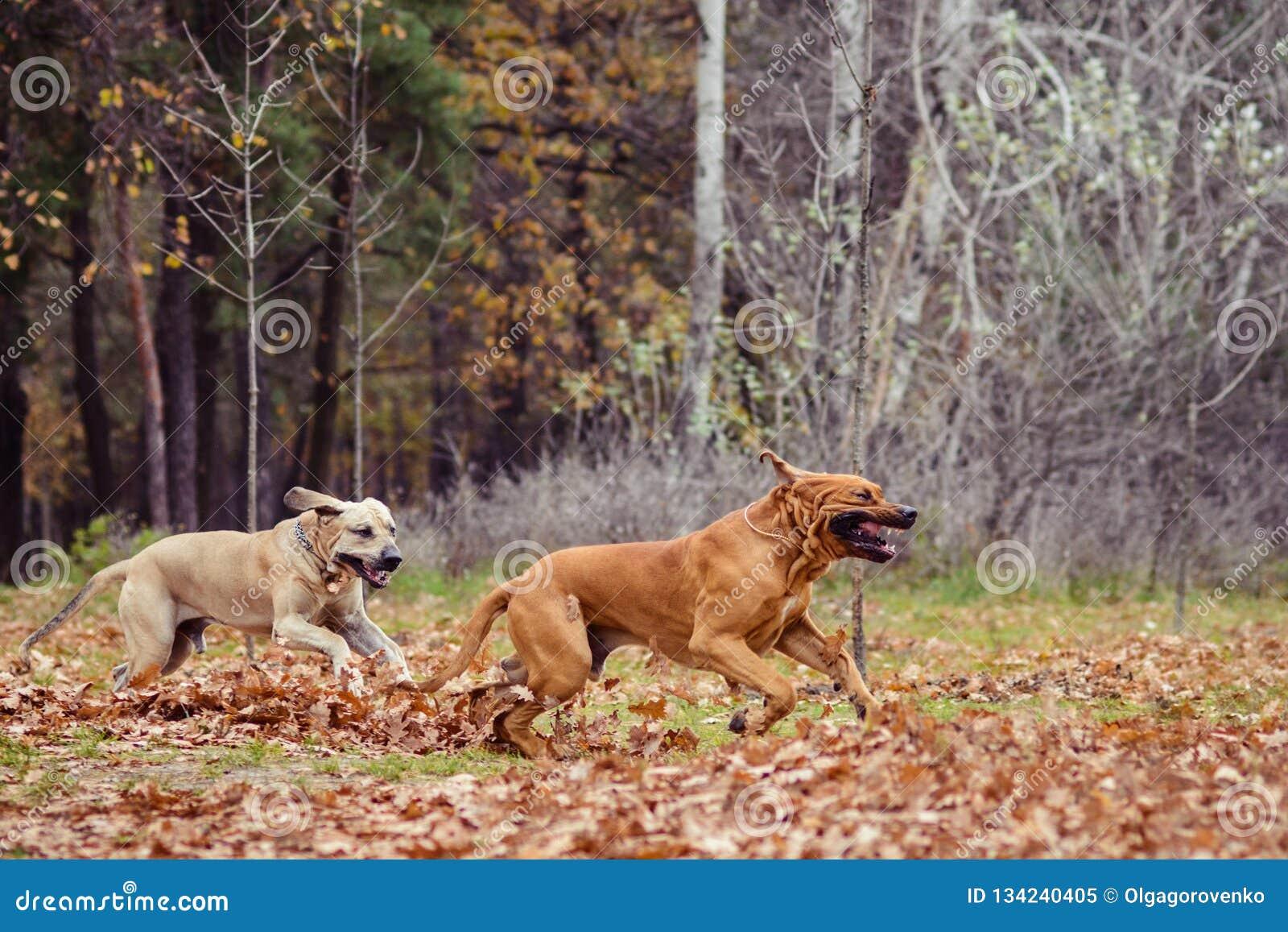 Two Fila Brasileiro dogs, autumn scene