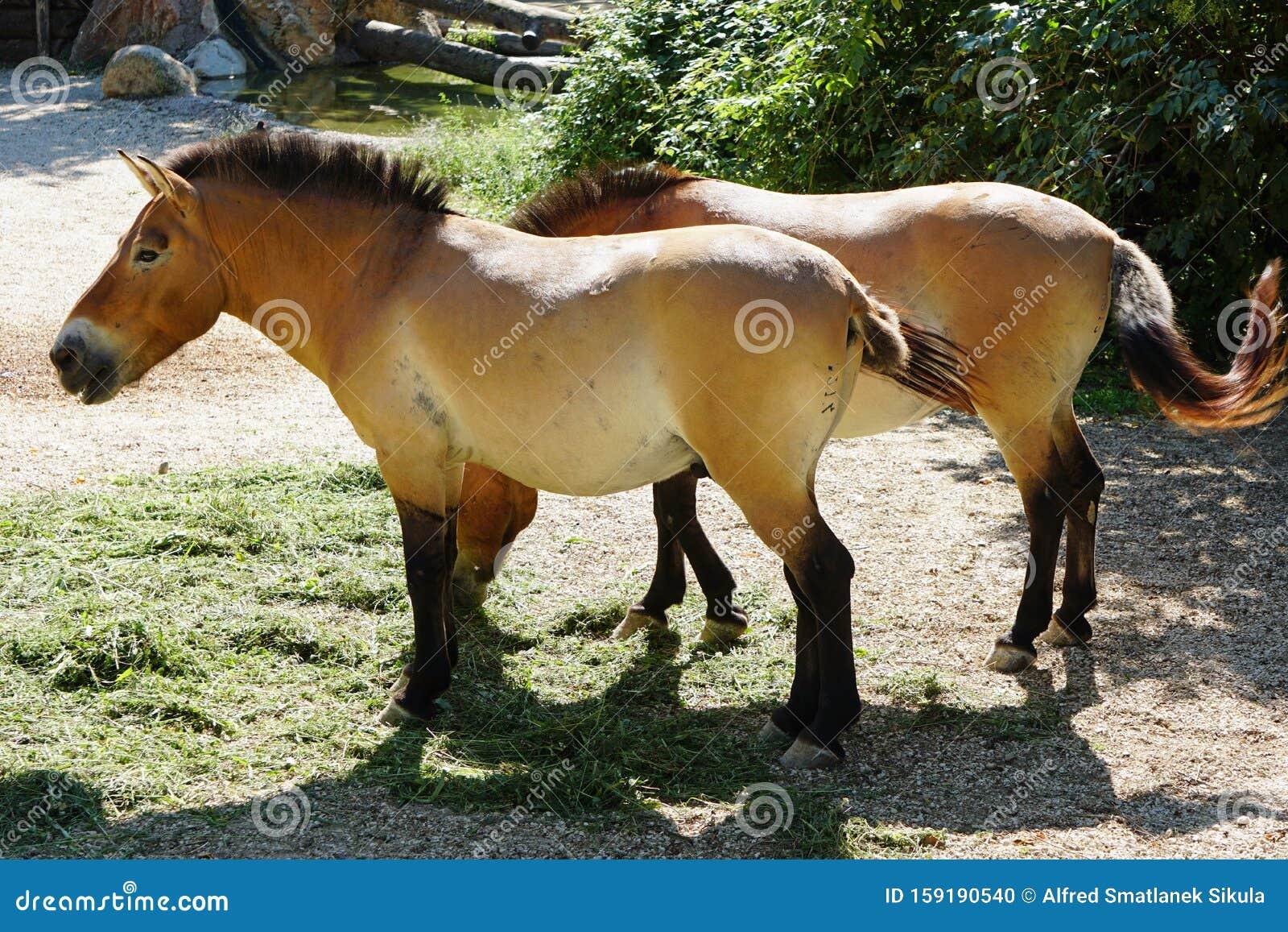 Horse Mature Zoo