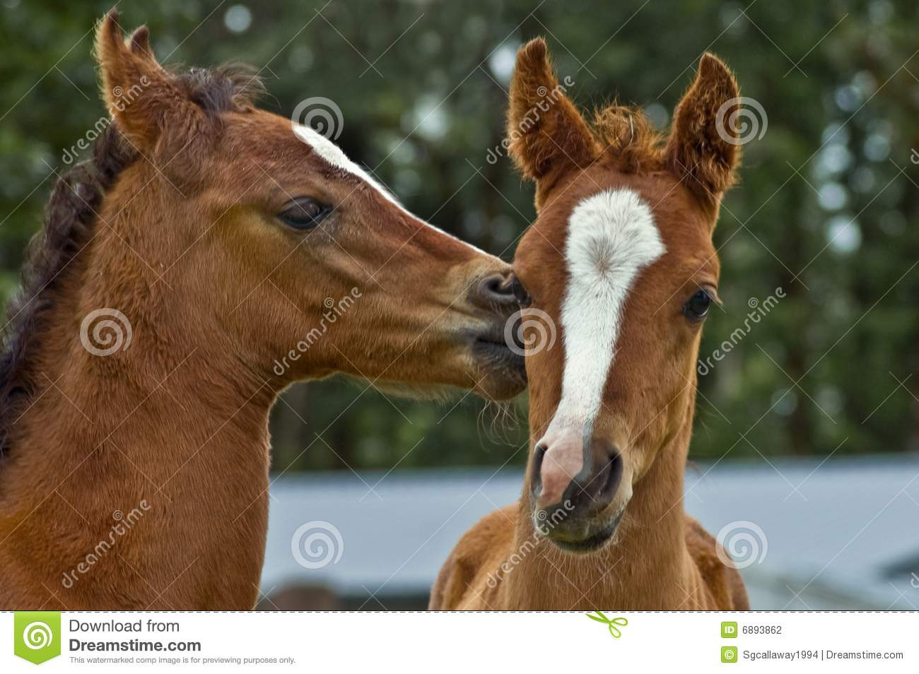 Two Affectionate Baby Horse Foals Stock Photo Image Of Affectionate Love 6893862