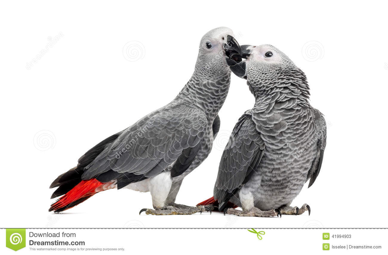 Two African Grey Parrots (3 months old) pecking