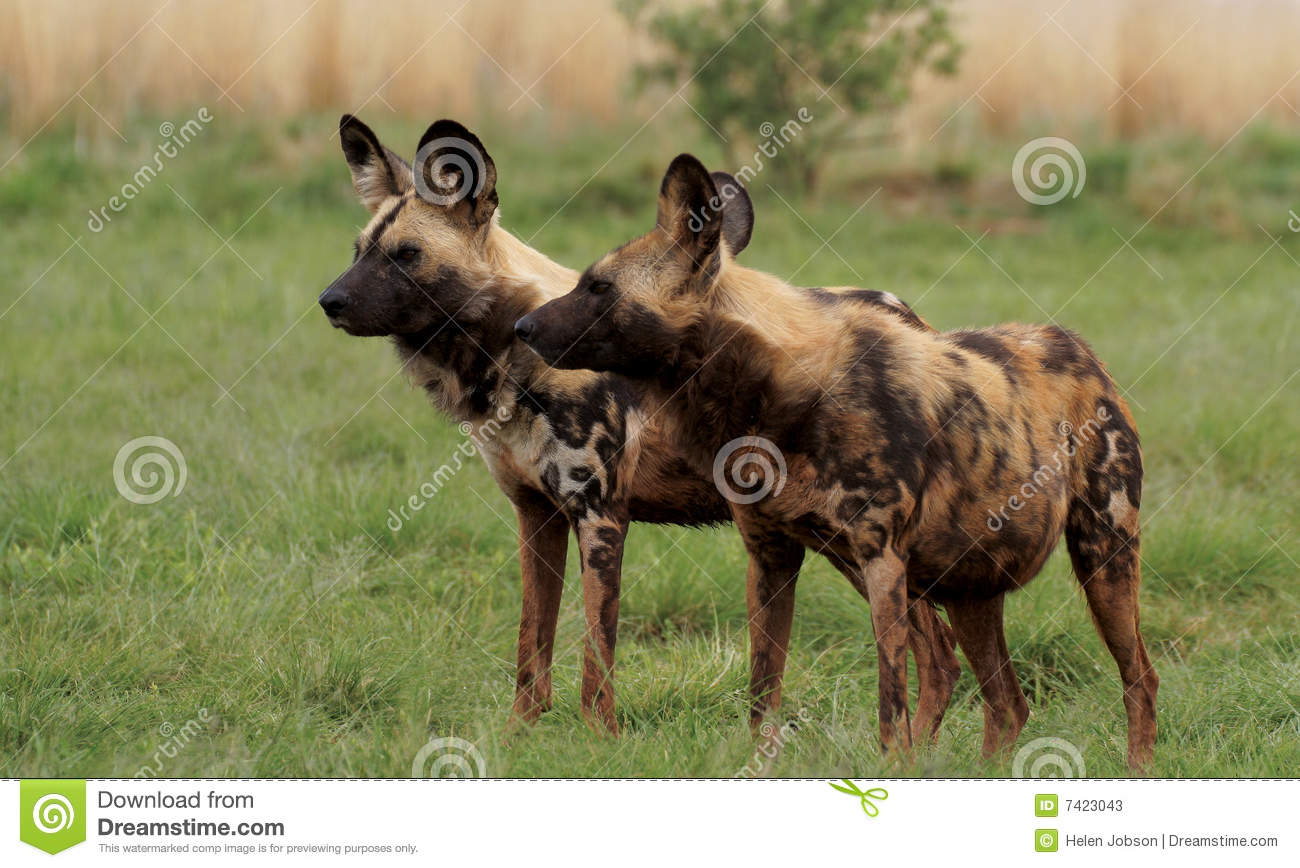 Download Two African Wild Dogs On Guard Stock Image - Image of south, safari: 7423043