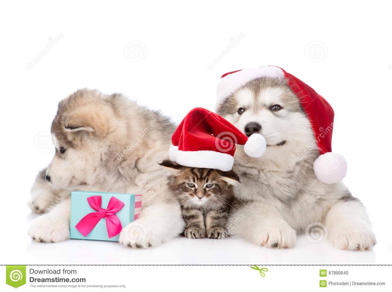 Two alaskan malamute dogs and maine coon cat in red santa hats. isolated on white