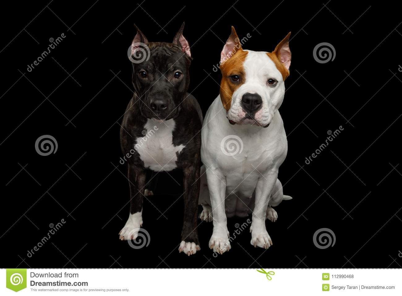 Two American Staffordshire Terrier Dogs Isolated on Black Background
