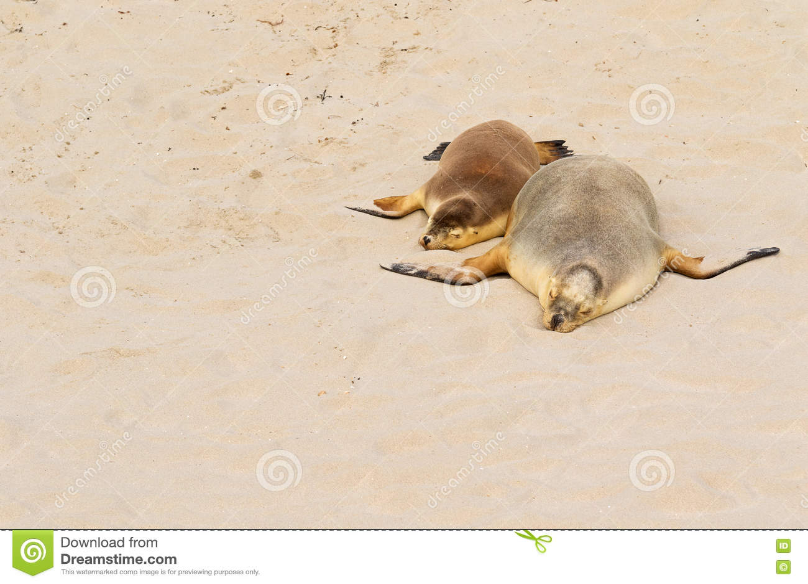 Two Australian Sea Lions Sleeping On Warm Sand At Seal Bay, Kang Stock Photo
