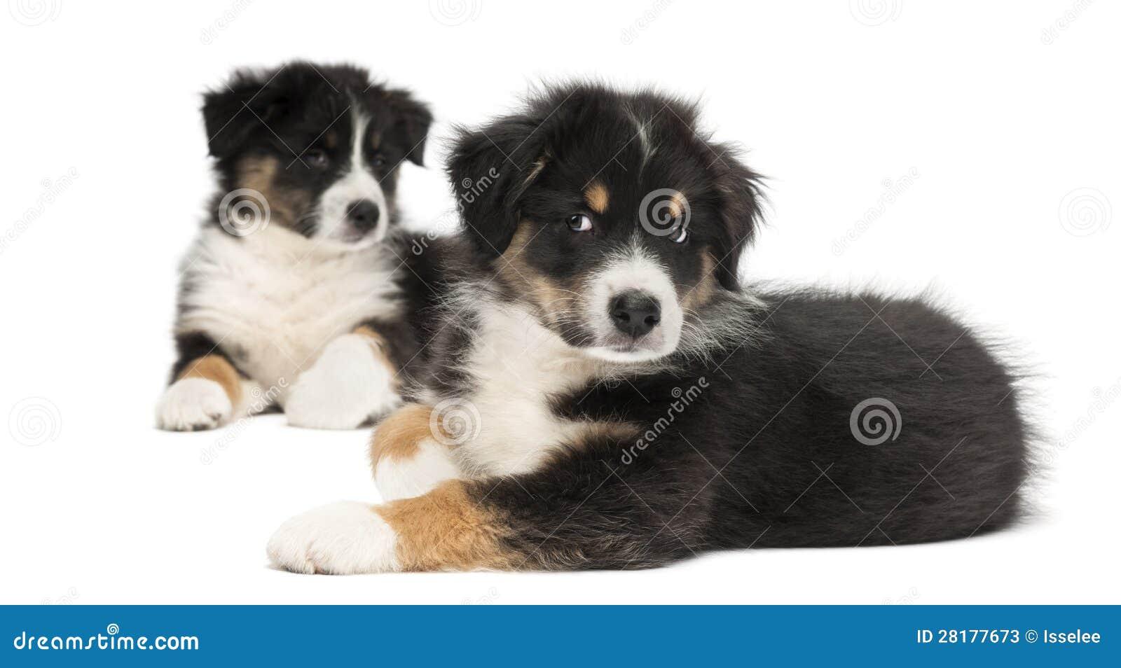 Two Australian Shepherd Puppies, 2 Months Old Stock Photos - Image ...
