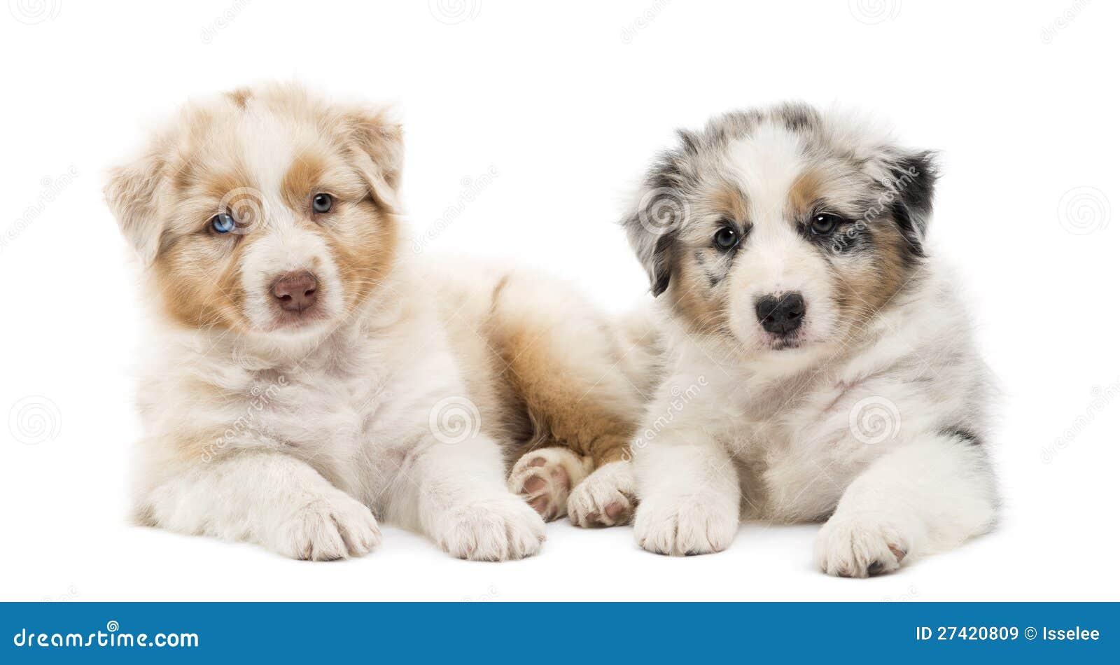 Two Australian Shepherd Puppies, 6 Weeks Old Stock Image - Image of