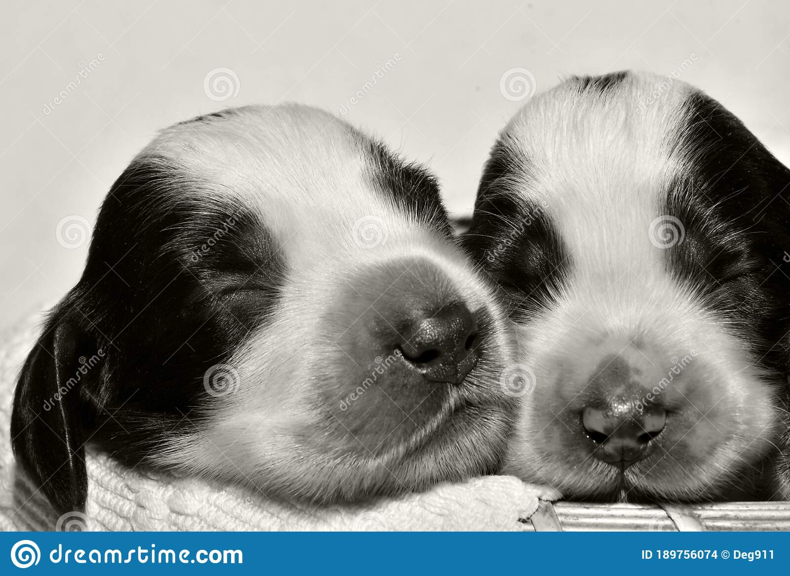 Two Babies Cocker Spaniel Black And White Stock Photo Image Of Natural Babies 189756074