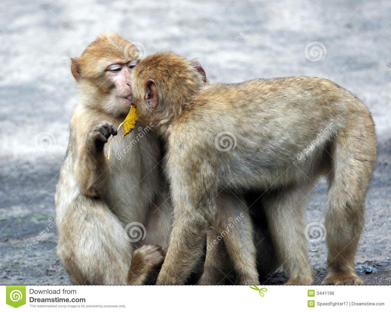 Two Baby Baboons Kissing Stock Photo Image Of Animals