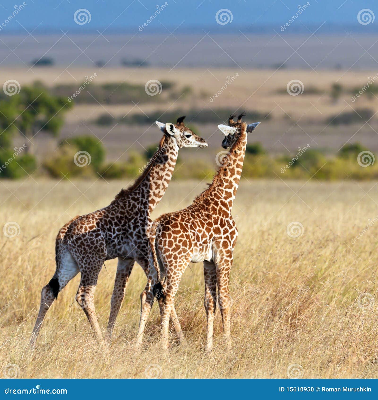 Two baby giraffe walk on the savannah