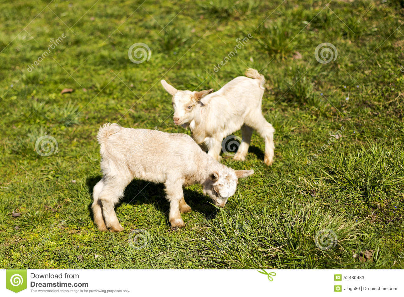 Two Baby Goats Playing Stock Photo - Image: 52480483