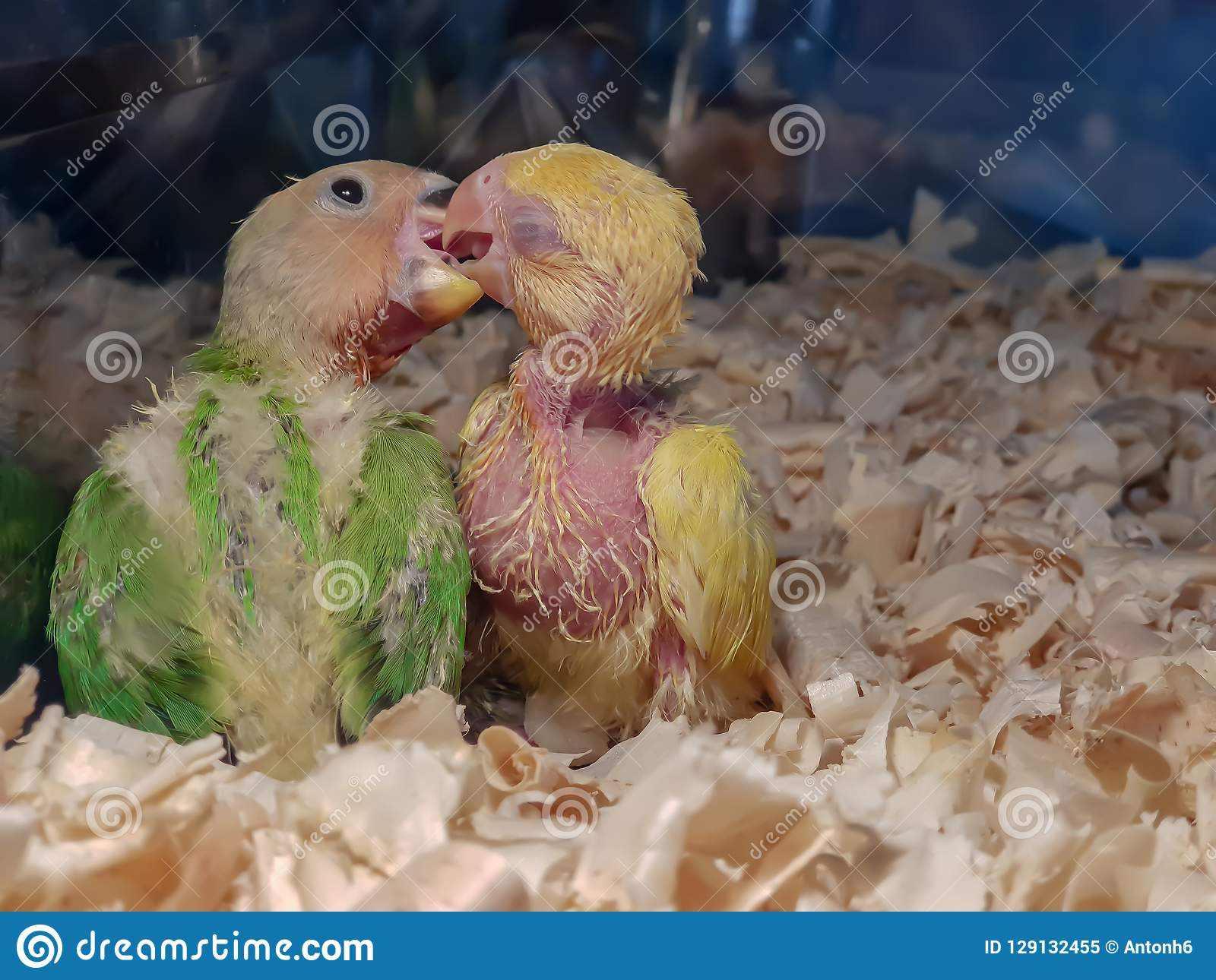 Two baby parrots enjoying each others company.