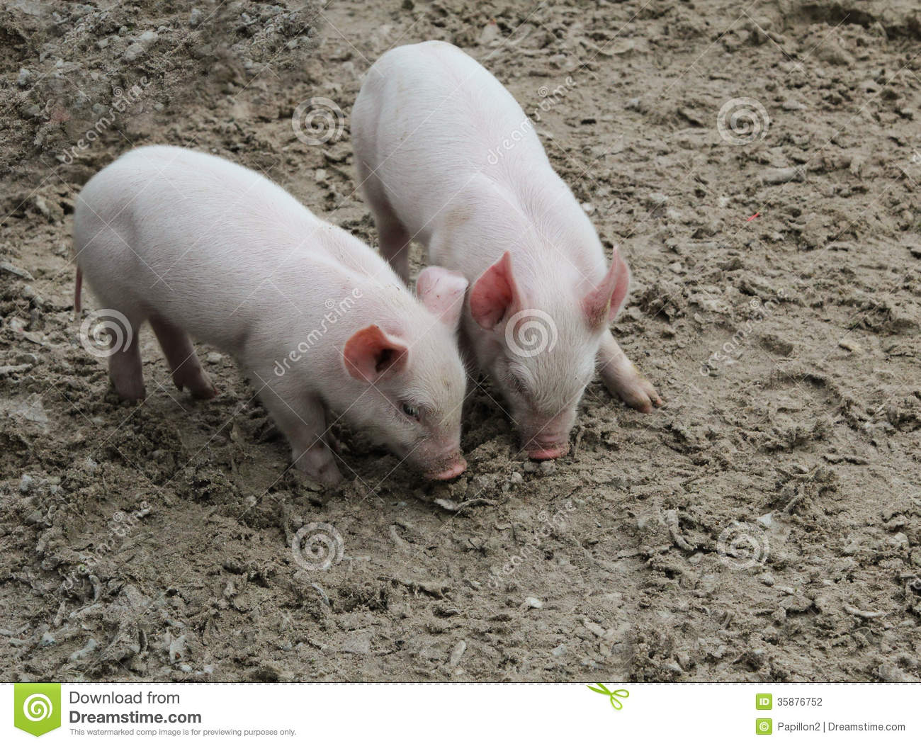 Two Baby Pigs Stock Photo Image Of Hair Love Head