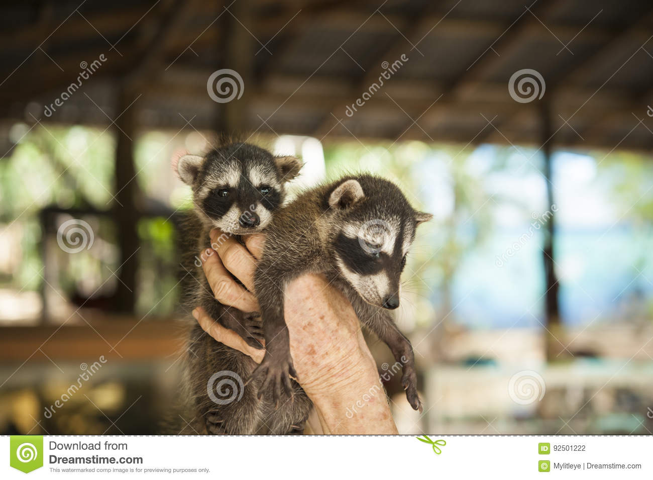 Two Baby Raccoons At Animal Rescue Stock Photo - Image of baby ...