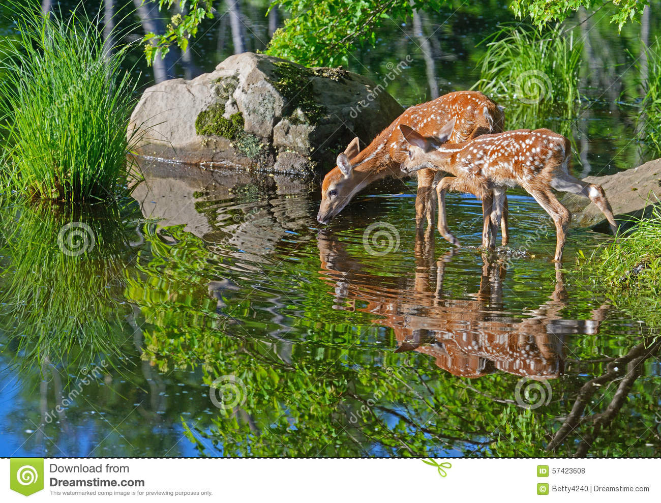 Two Baby White-tailed deer water reflections.