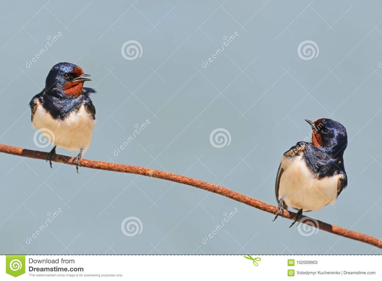 Two Barn Swallow On The Wire Stock Image - Image of barn, wild ...