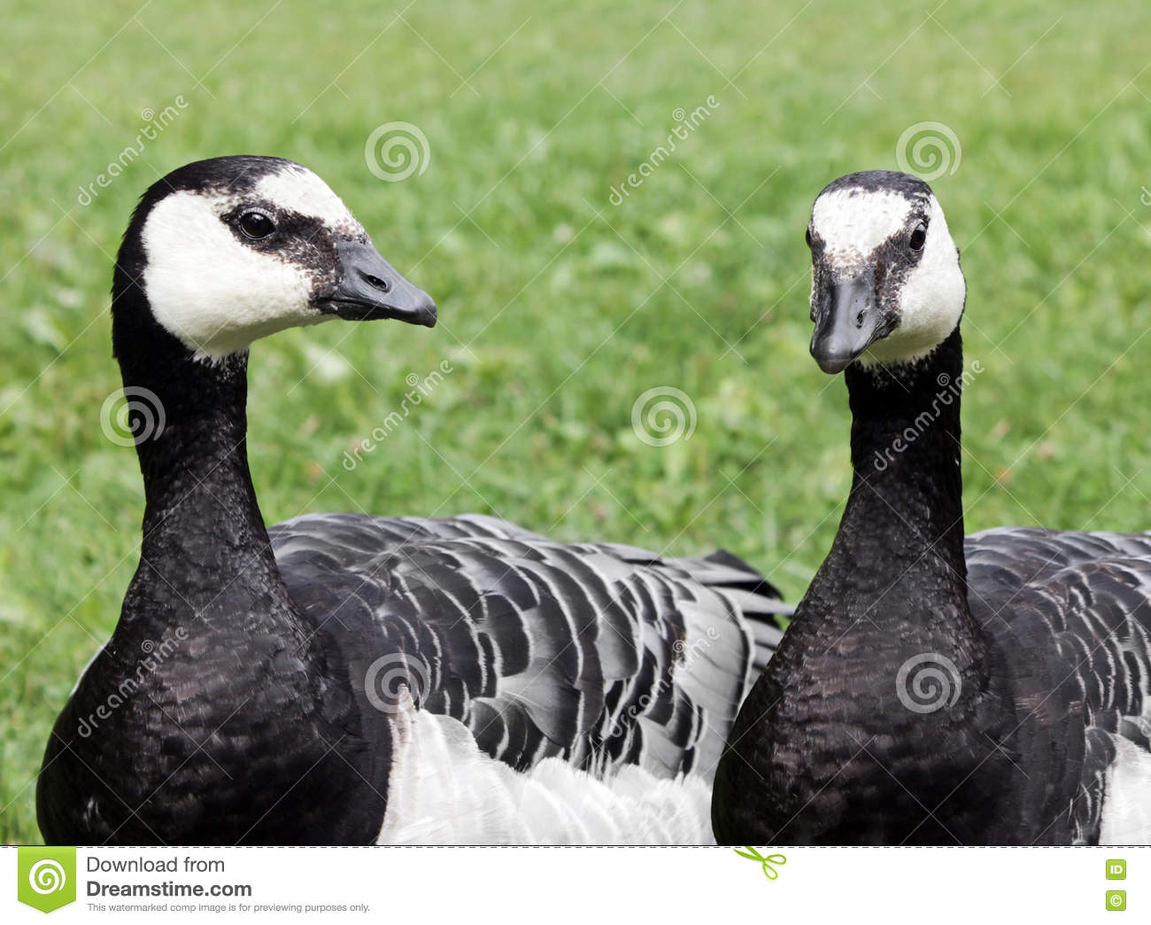Two Barnacle Geese
