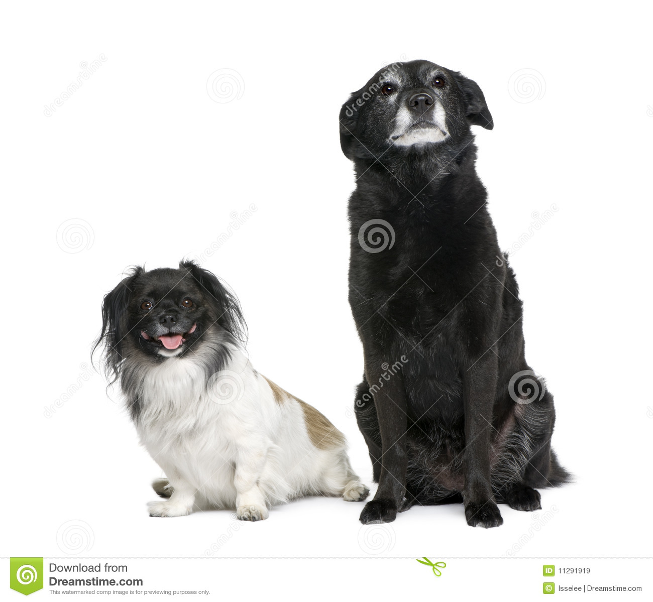Two Bastard Dogs In Front Of White Background Royalty Free