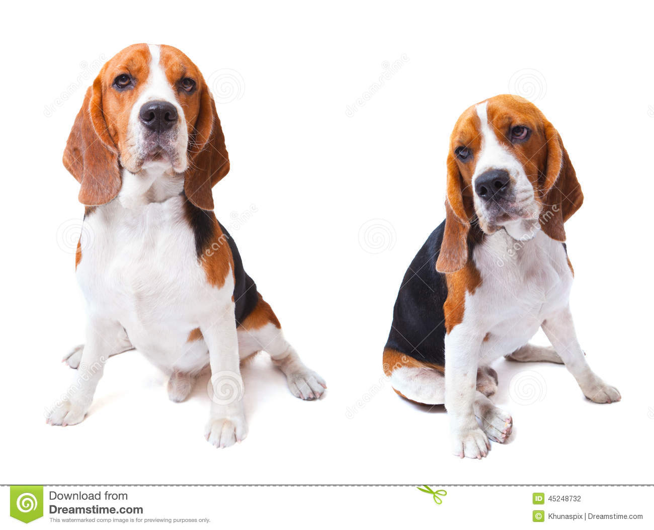 Two beagle dogs sitting on white background use for animals and