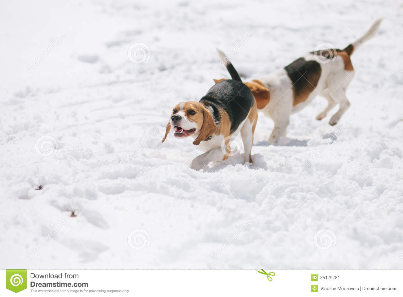 Beagle Running Two beagles running in snow