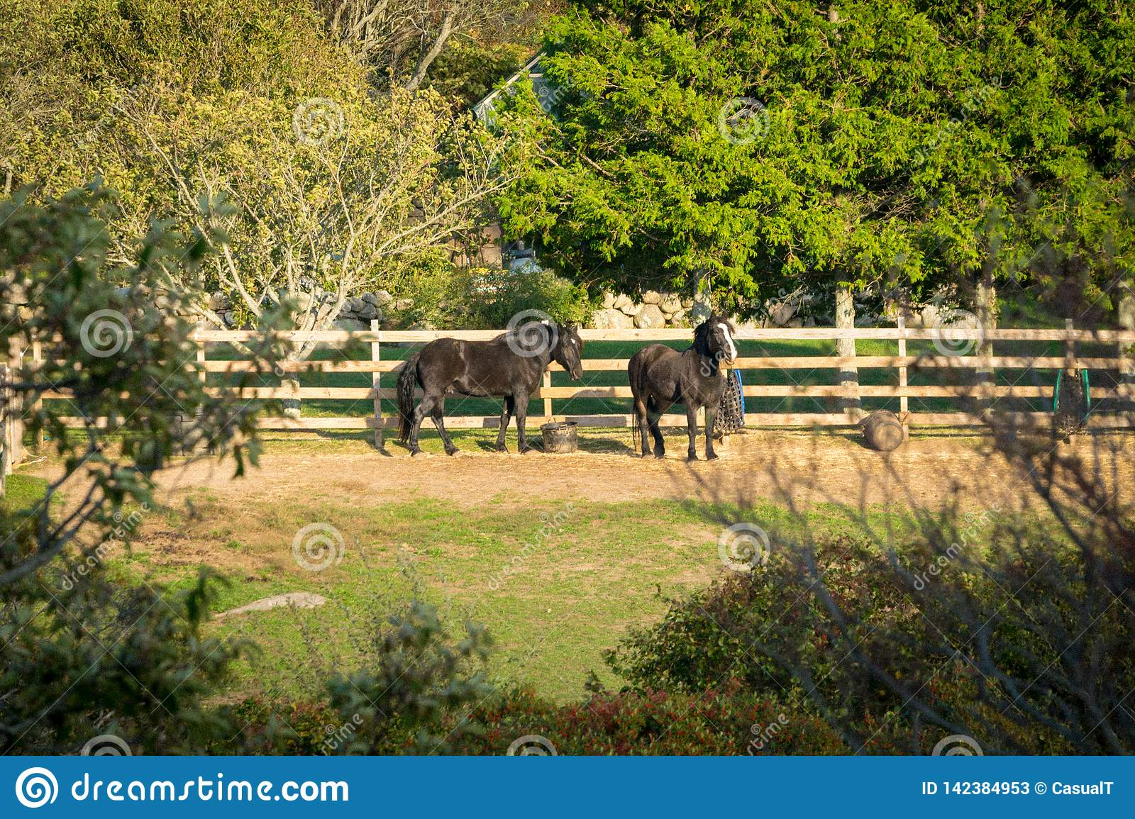 Two beautiful black horses, relaxing in their fenced-in corral, among trees, bushes, and plenty of grass, on a warm