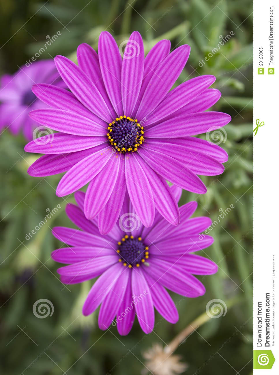 Two beautiful bright purple daisy flowers on green stock image two beautiful bright purple daisy flowers on green izmirmasajfo