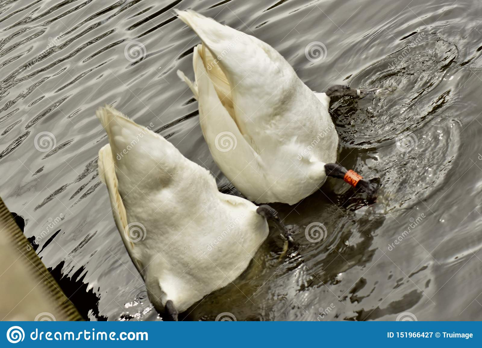 Two beautiful diving white swans