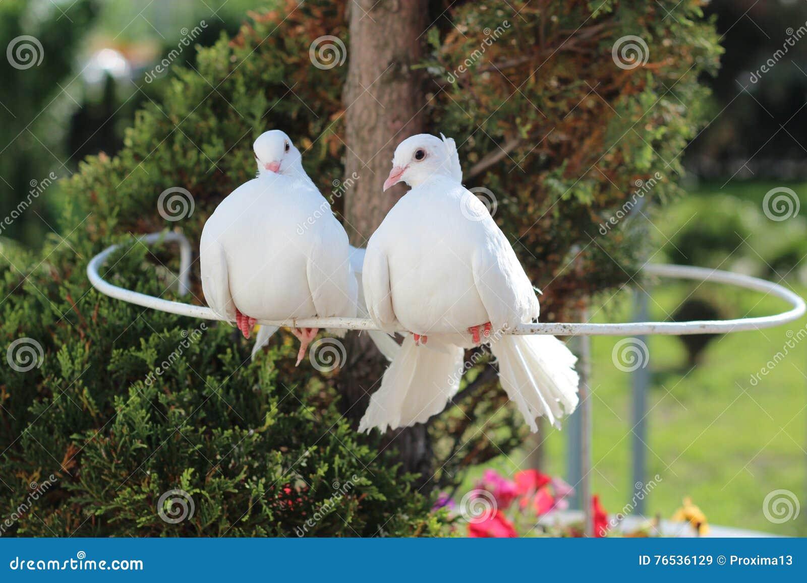 Two beautiful white dove symbol of peace and love stock image royalty free stock photo buycottarizona
