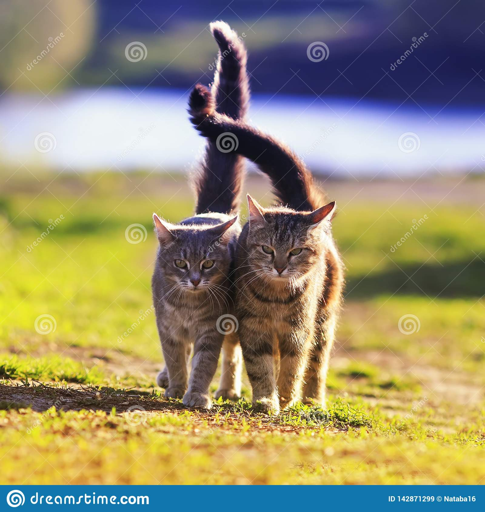 Two beautiful young cats walk in a Sunny meadow on a clear spring day raising their tails