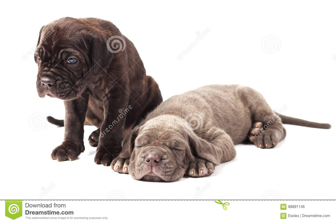 Two beautiful young puppies italian mastiff cane corso 1 month