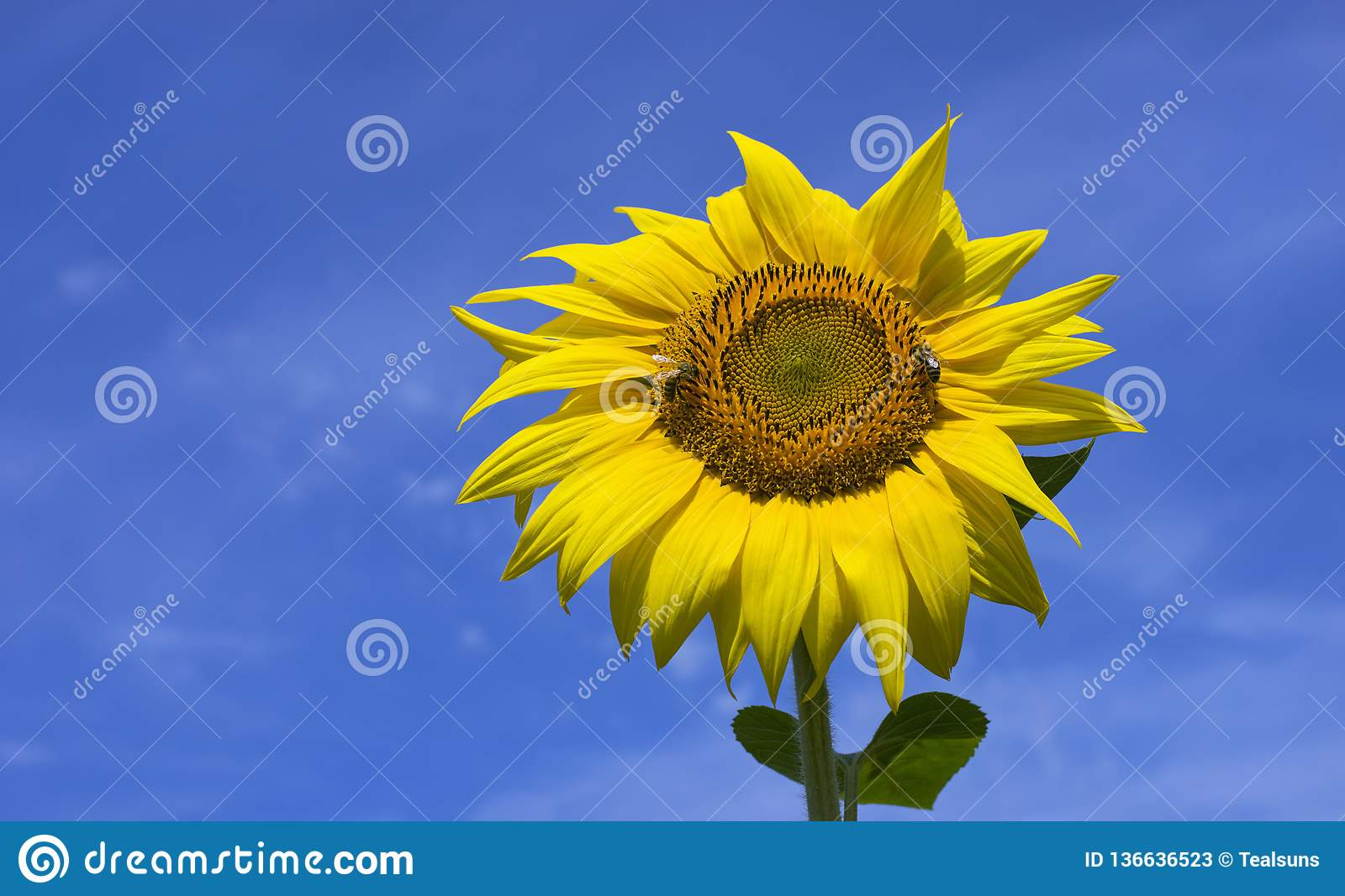 Two bees collect nectar on sunflower.