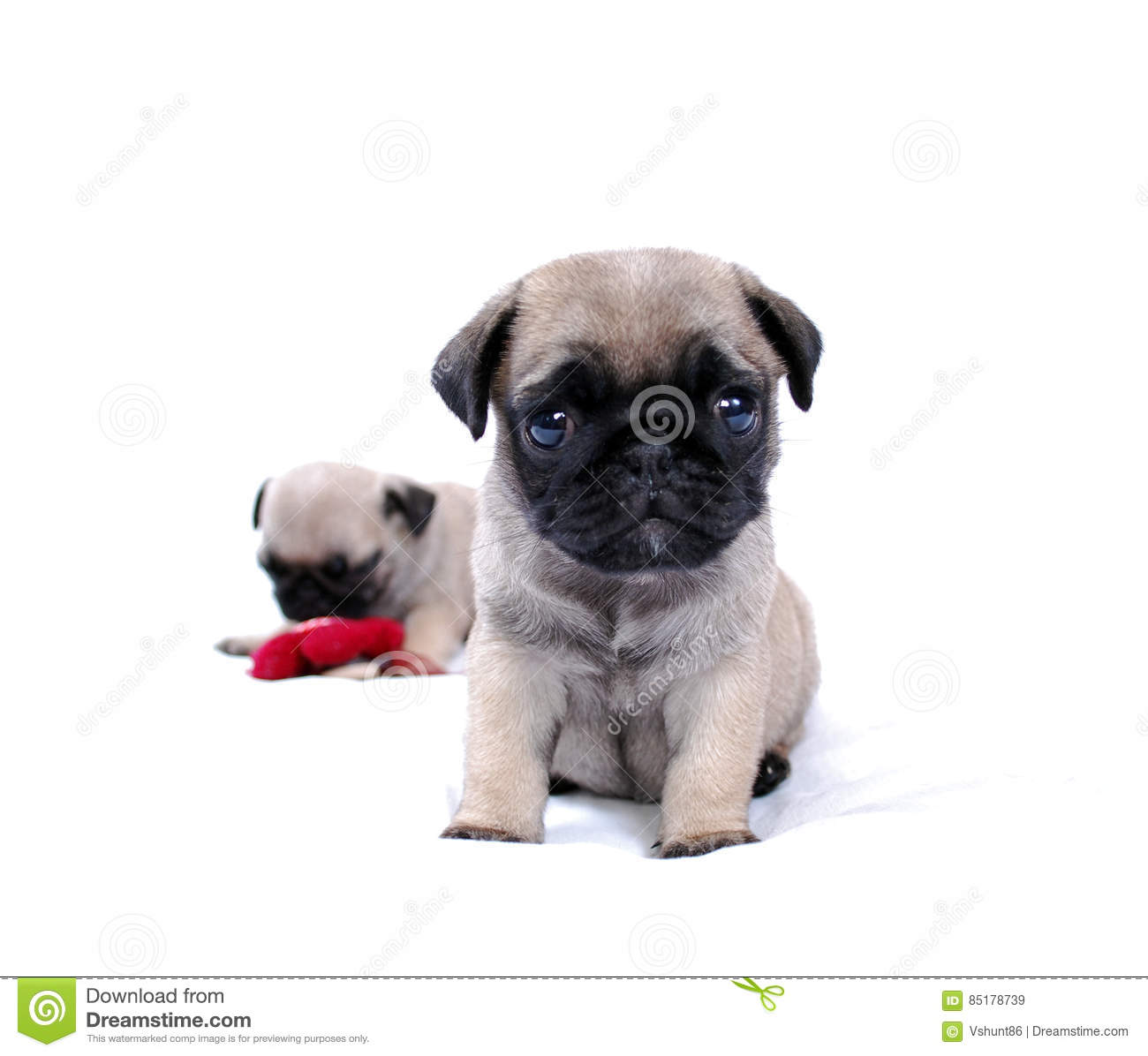 Two Beige Puppies Mopsa Play With A Knitted Red Flower Stock