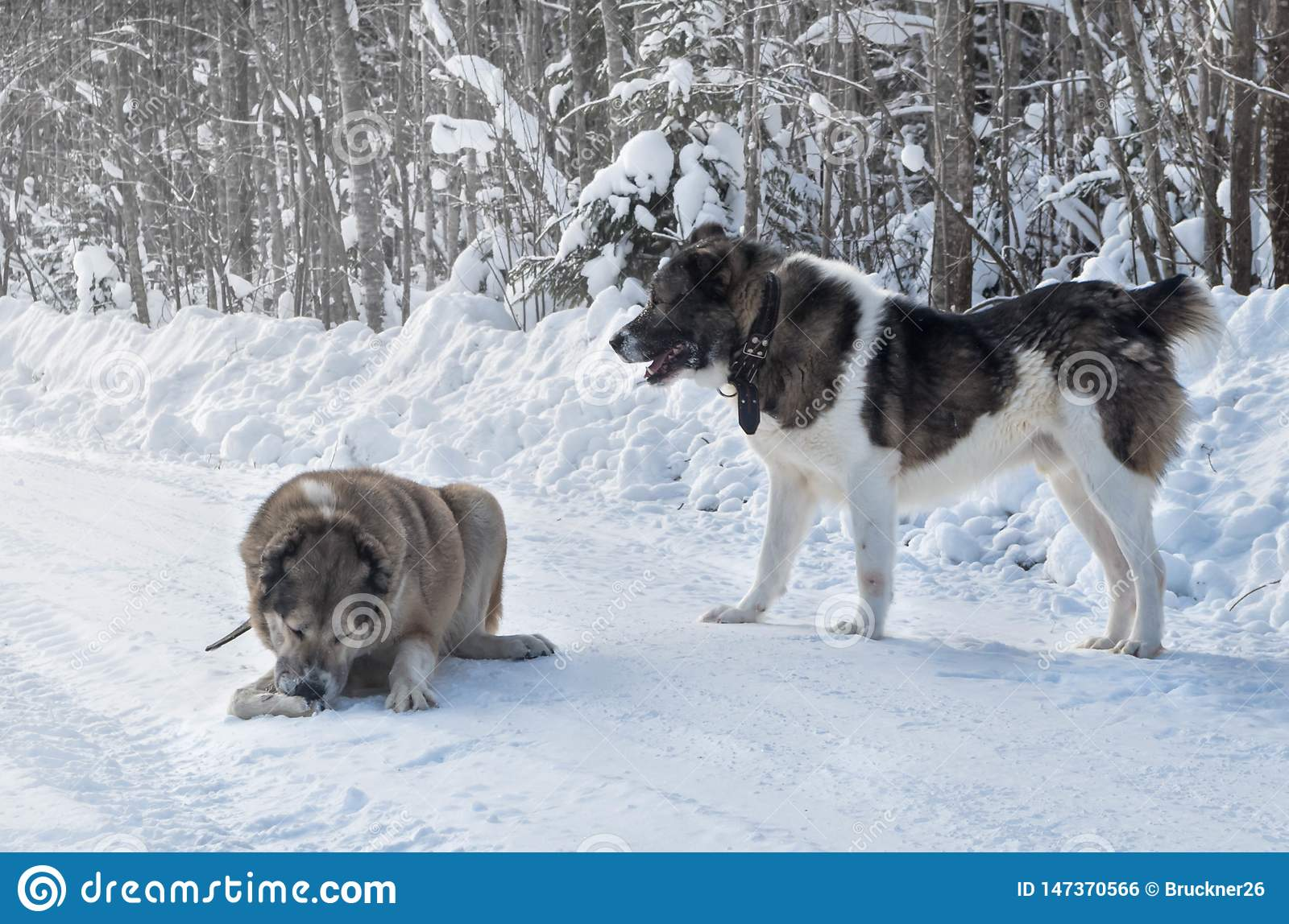 Two wolfhound dogs playing in the snow