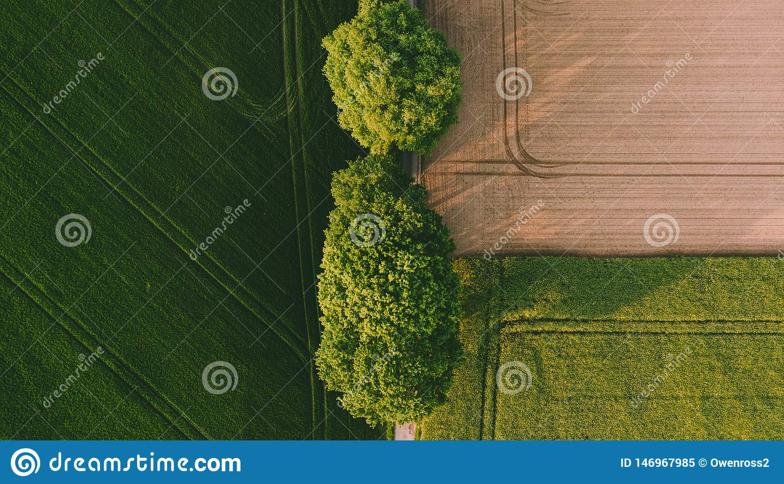Two big green trees between a brown yellow field and a green field