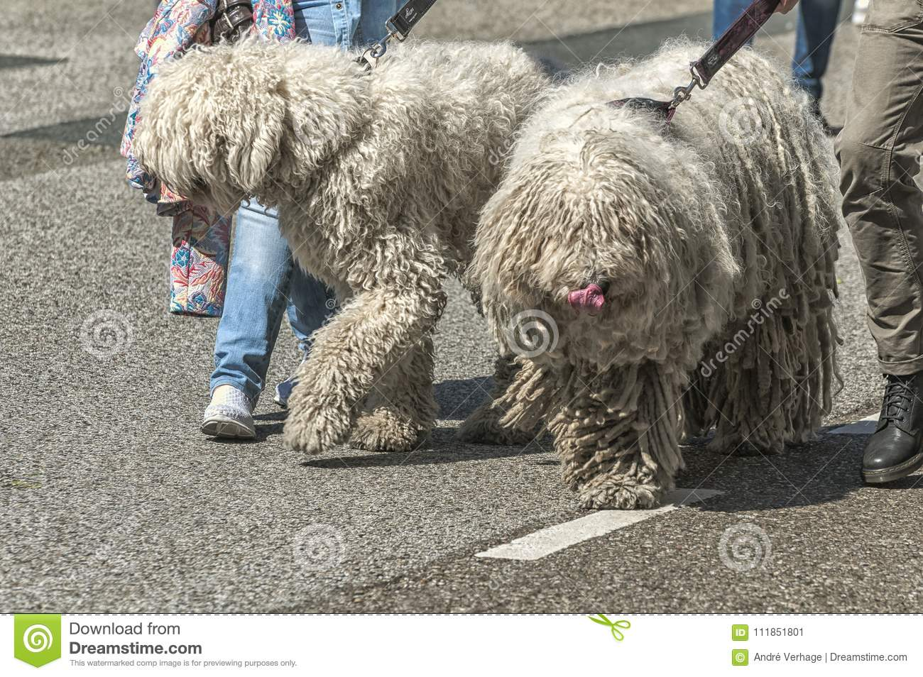 Image of: Two Dogs Two Big Hairy Dogs Are Being Played By Their Owners Four Paws Pet Sitting Services Two Big Hairy Dogs Walking On The Street Stock Image Image Of
