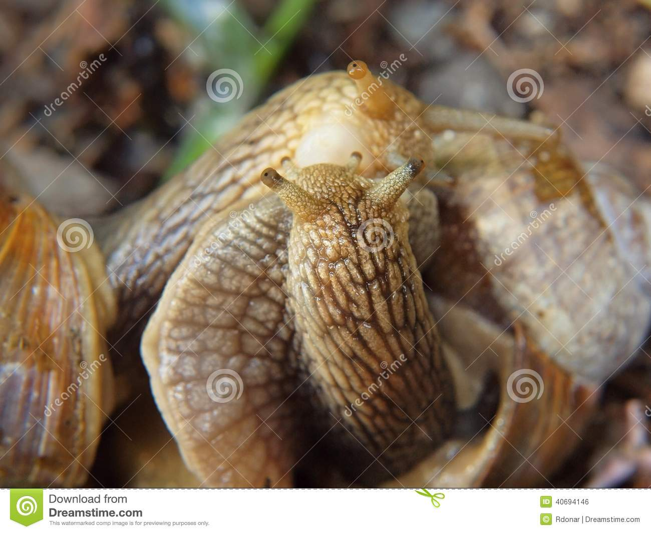 Stock Photo: Two Big Snails Have A Sex. Very Closeup View To Snail Sexual  Actions