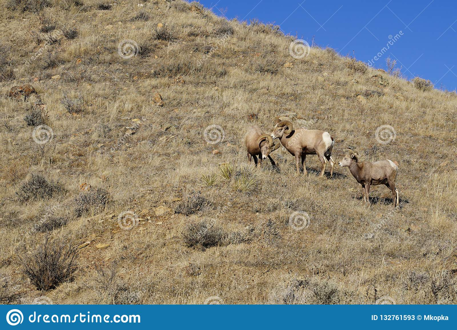 Two bighorn sheep rams start a fight over a ewe sheep watching