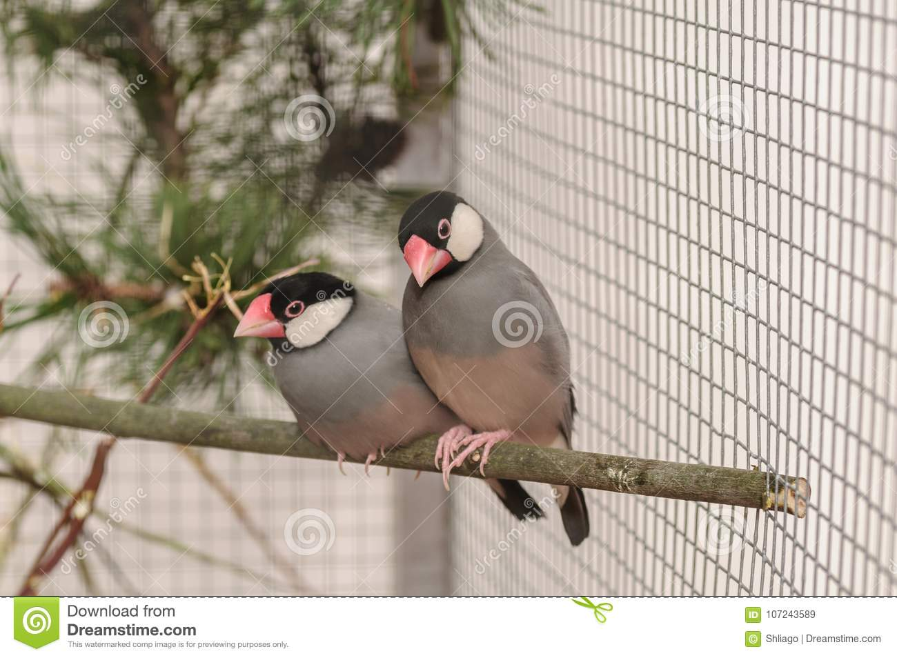 Two birds Amadin in the cage on branch