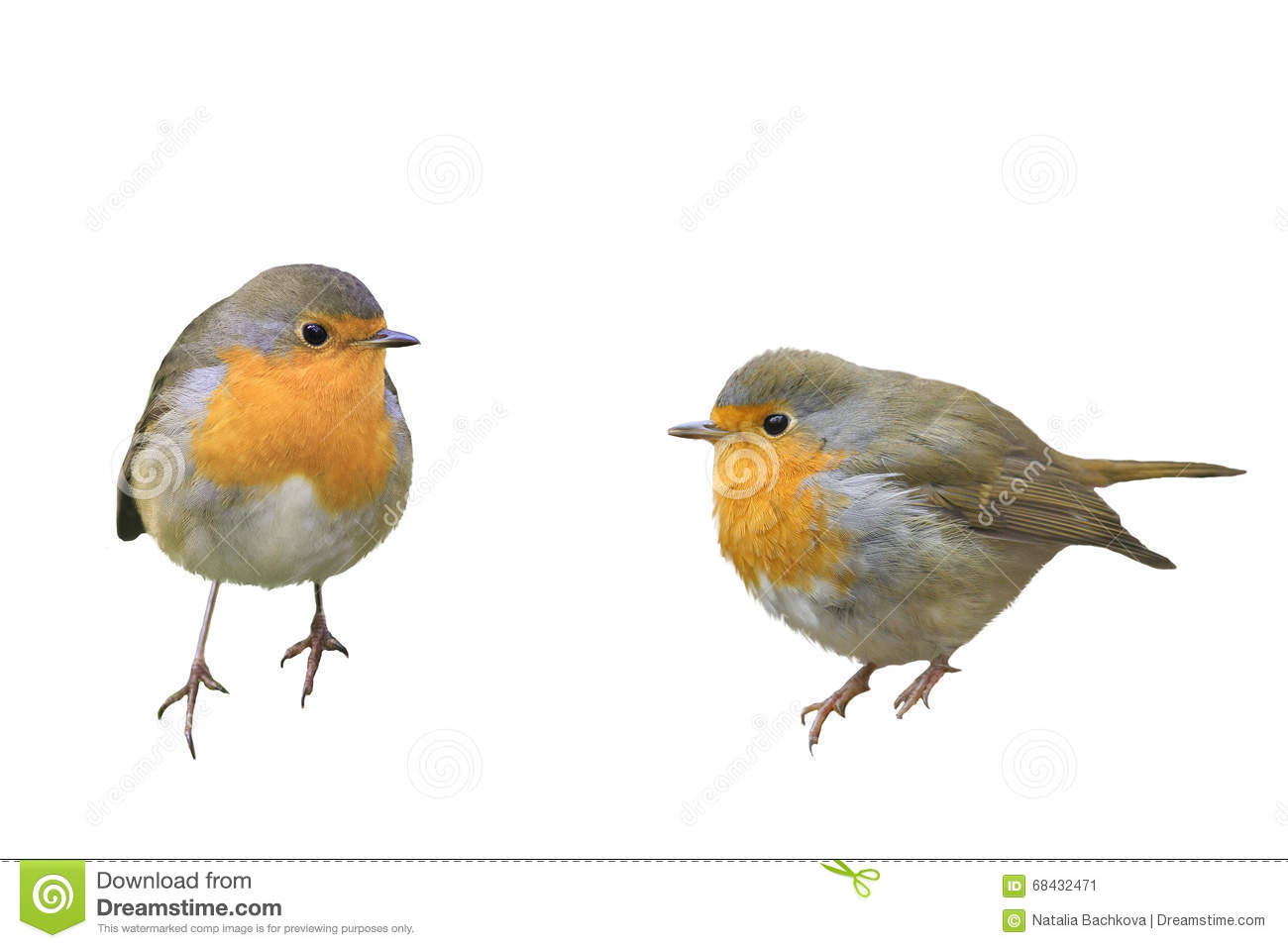 two birds robins in different poses stock photo image 68432471