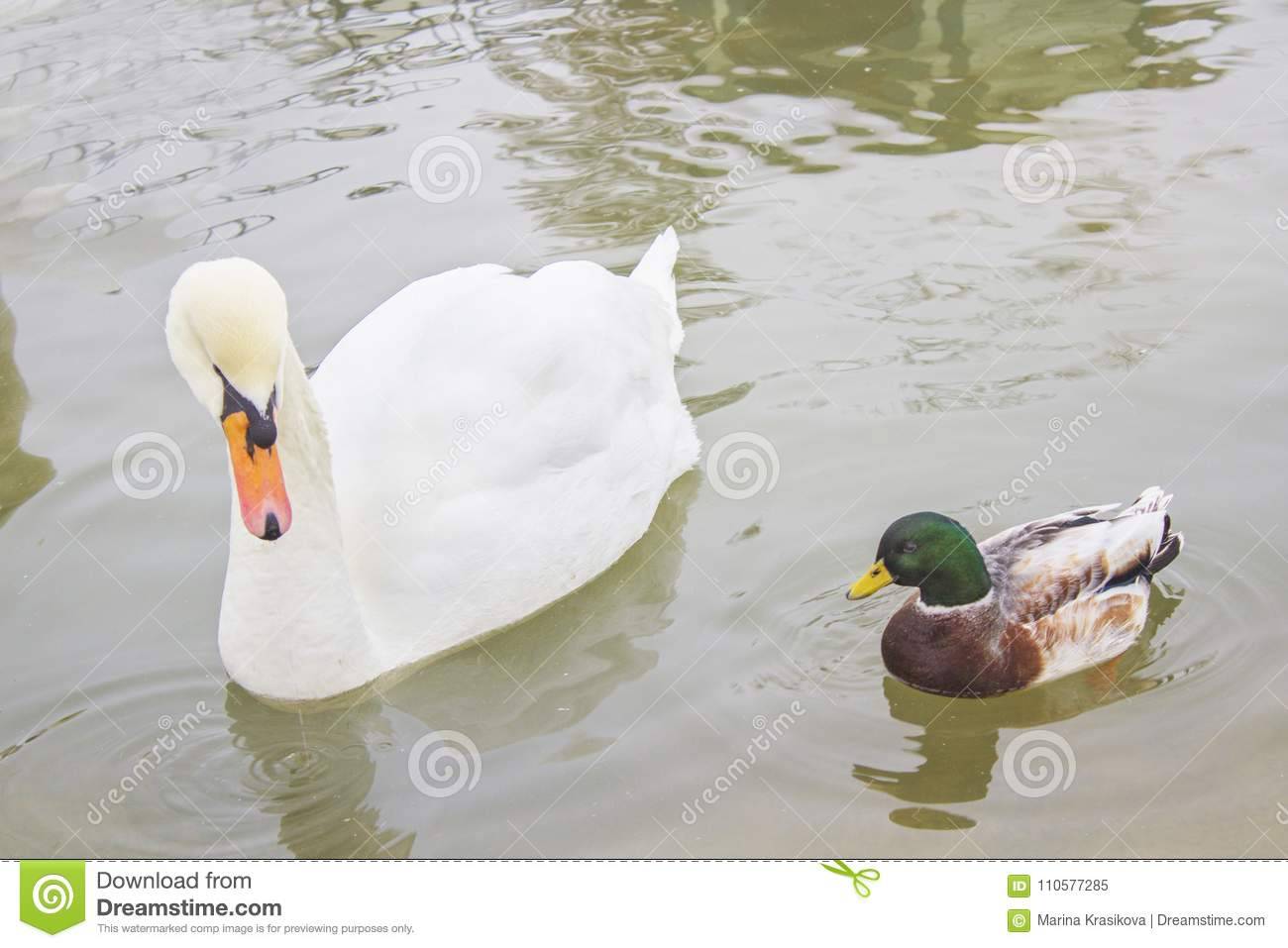 Two birds, a white Swan and a duck swim in the pond, in the zoo