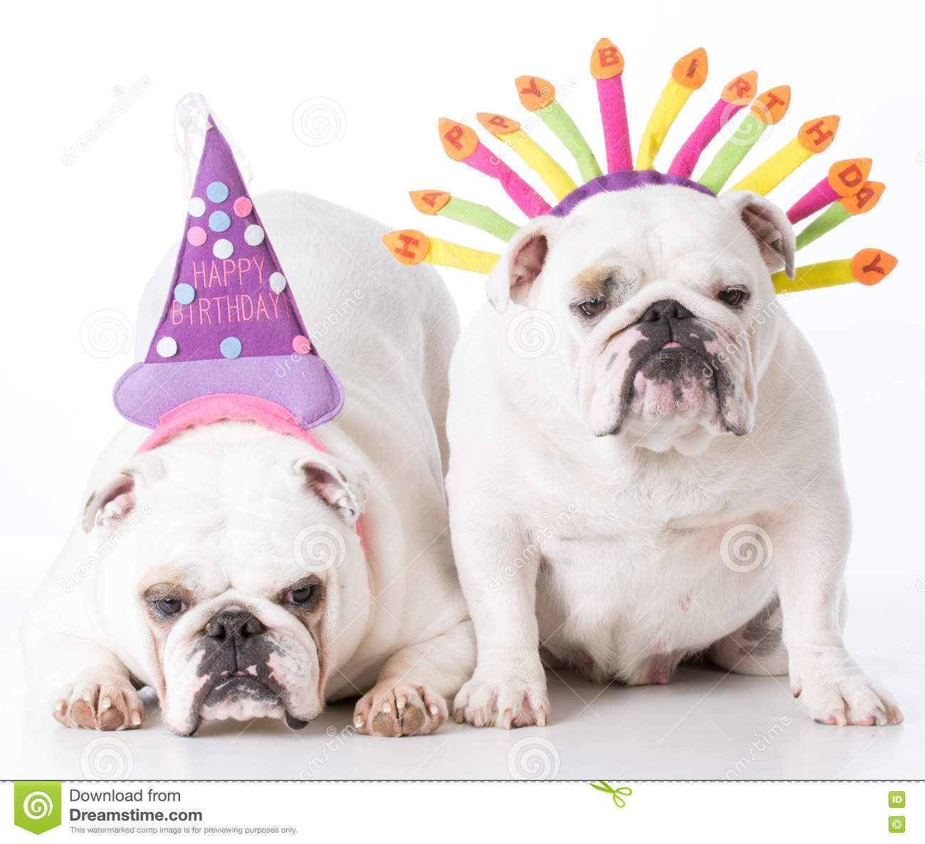 Two Birthday Dogs Stock Photo Image Of Sitting Adorable